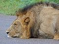 Sleeping Lion (Panthera leo) (12905955285).jpg