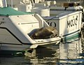Sleeping sealion Dana Point Harbor.jpg