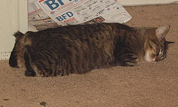 """Picture of a sleeping """"Rumpy"""" Manx cat."""