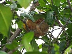 Un autre, caché dans un arbre, au Costa Rica