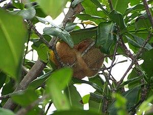 Silky anteater - Silky anteater sleeping, Damas Island, Costa Rica