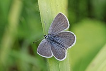 Small blue (Cupido minimus) male 2.jpg