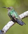 Small hummingbird on Petrea volubilis (9594088828).jpg