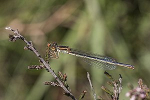 Small red damselfly (Ceriagrion tenellum) female form melanogastrum.jpg