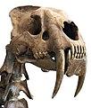 Smilodon head.jpg