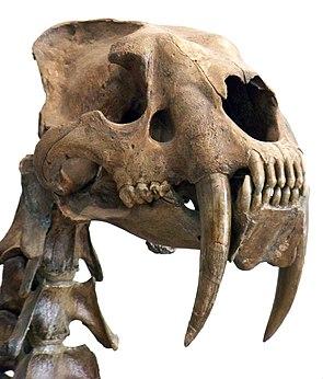 Schädel der Säbelzahnkatze Smilodon mit den markanten stark verlängerten Eckzähnen