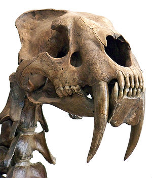 Skull of the saber-toothed cat Smilodon with the distinctive, long canine teeth