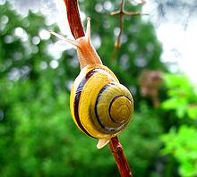 220px-Snail-WA