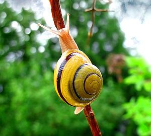 Panpulmonata - Cepaea nemoralis