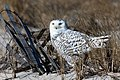 Snowy owl on alert - closeup, cupsogue beach (32631856131).jpg
