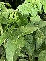 Solanum lycopersicum 3 2018-07-02.jpg