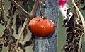Solanum lycopersicum Orange Cultivar.jpg