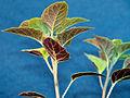 Solanum ptychanthum 5437091.jpg