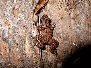 Seychelles frog species of amphibian