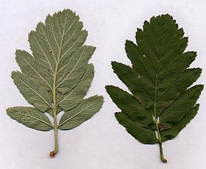 Sorbus × hybrida - Leaf; under side (left) and upper side (right)