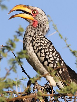 Southern yellow-billed hornbill - Adult female in Mapungubwe National Park, South Africa. She has a shorter bill, with shorter casque, than the male.