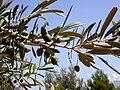 Spanish-olives.jpg