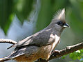 Speckled Mousebird RWD.jpg