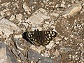 Speckled Wood butterfly - geograph.org.uk - 1302228.jpg