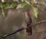 Spiny Babbler, Shivapuri Nagarjun NP, Nepal - IMG.sgym.17.jpg