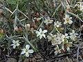 Spiny menodora, Menodora spinescens var. spinescens (32380158220).jpg