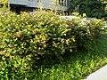 Spiraea japonica183241.JPG