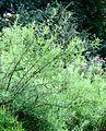 Spiraea thunbergii Fomin2.jpg