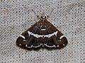 Spoladea recurvalis (Crambidae- Spilomelinae) (27218054766).jpg