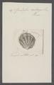 Spondylus radians - - Print - Iconographia Zoologica - Special Collections University of Amsterdam - UBAINV0274 074 10 0028.tif