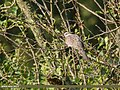 Spotted Dove (Spilopelia chinensis) (36283901533).jpg