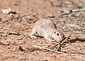 Spotted Ground Squirrel stretching 8358.jpg