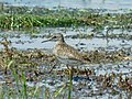 Sprudnik migavac (Tringa glareola); Wood Sandpiper.jpg