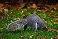 Squirrel in Green Park.jpg