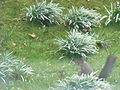 Squirrel in the cold spring 2010.jpg