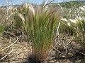 Squirreltail barley, Hordeum jubatum ssp. jubatum (16041164865).jpg