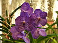 Sri Lanka - Kandy Botanical Garden - Orchids - 08 (1756658081).jpg
