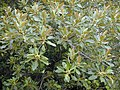Starr-010520-0003-Ficus macrophylla-leaves and fruits-Sand Island-Midway Atoll (23905877023).jpg
