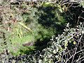 Starr-020221-0035-Erigeron karvinskianus-habit in streambed-Polipoli-Maui (24438305142).jpg