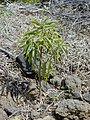 Starr-030222-0039-Myoporum sandwicense-planted-Auwahi-Maui (24324458230).jpg