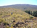 Starr-041211-1421-Pinus patula-habitat-Puu Nianiau-Maui (24094322603).jpg