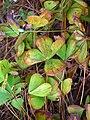 Starr-050407-6290-Marsilea villosa-habit-Maui Nui Botanical Garden-Maui (24718854336).jpg