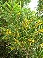 Starr-050525-1926-Acacia confusa-flowering habit-Water catchment-Kahoolawe (24133893924).jpg