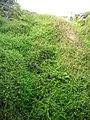 Starr-050815-3380-Erigeron karvinskianus-habit-Pohakuokala Gulch-Maui (24173049034).jpg