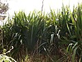 Starr-070405-6785-Phormium tenax-habit-Munro Trail-Lanai (24591801320).jpg