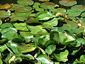 Starr-071024-9914-Nymphaea sp-in water feature-Enchanting Floral Gardens of Kula-Maui (24527882329).jpg