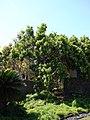 Starr-090429-6474-Pimenta dioica-flowering habit-Spreckelsville-Maui (24325958513).jpg