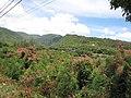 Starr-090720-3061-Antigonon leptopus-flowering habit-Waiehu-Maui (24602559579).jpg