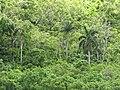 Starr-090720-3155-Roystonea regia-habit-Iao Valley Rd-Maui (24970346235).jpg