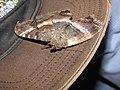 Starr-110309-3016-Paspalum conjugatum-habitat and black witch moth Ascalapha odorata-Olinda-Maui (25079156135).jpg