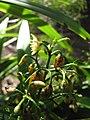 Starr-110411-4943-Dianella sandwicensis-flower and brown fruit form sandwicensis-Hawea Pl Olinda-Maui (25056165736).jpg